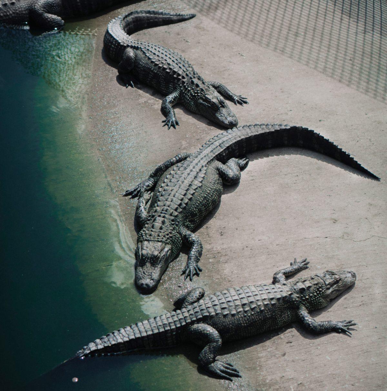 différence crocodile alligator