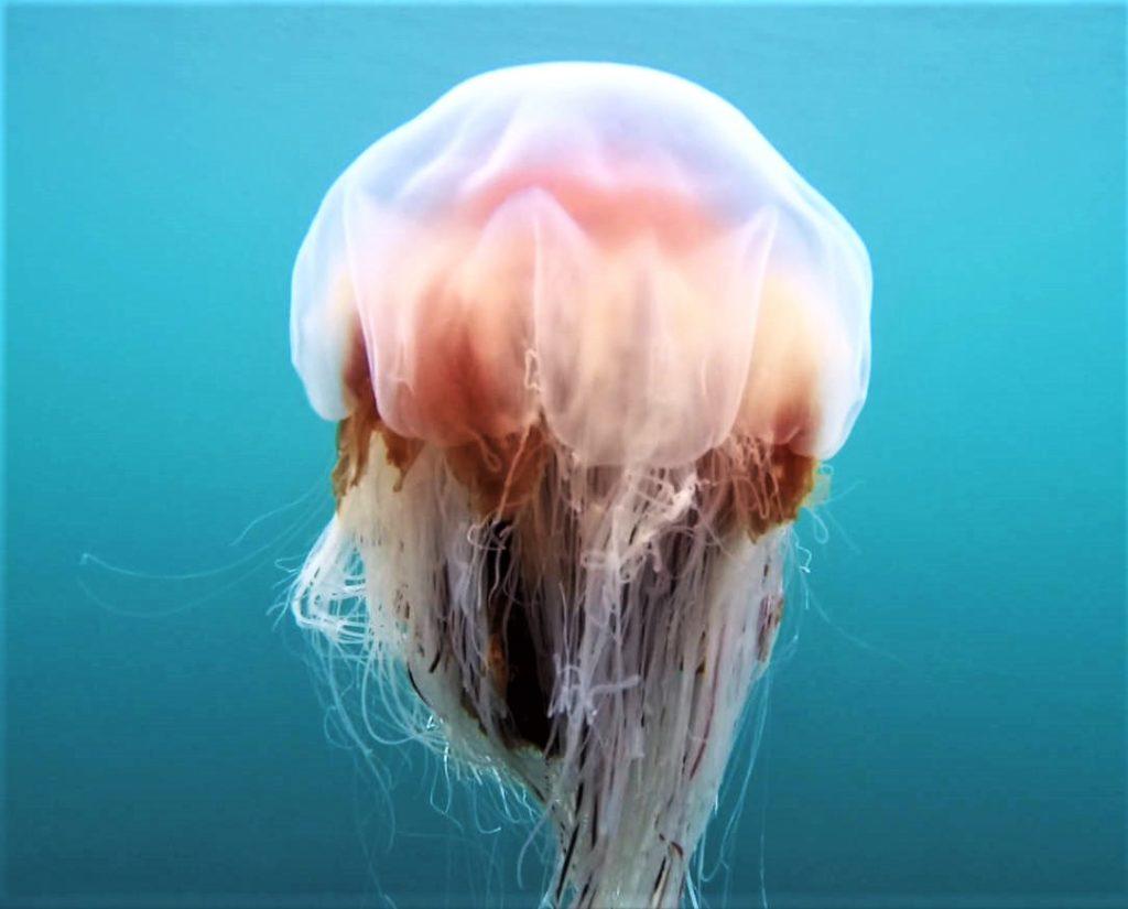 La plus grande méduse du monde