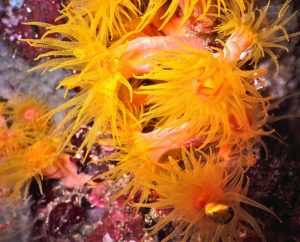 corail tubastraea orange