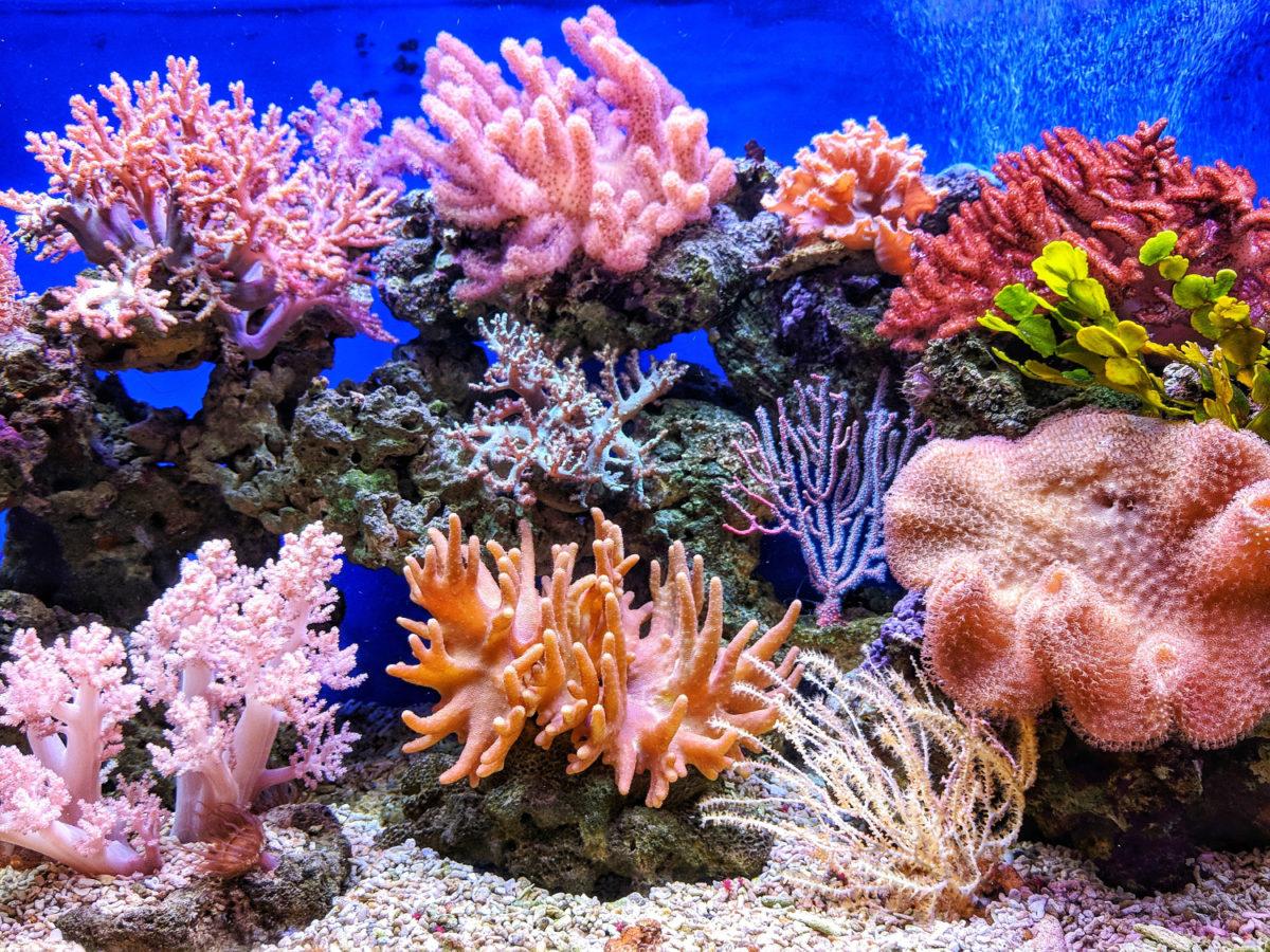 types de coraux